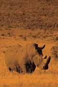 Alive! white rhino - Sepia - Photo Art Notebooks (6 x 9 version)