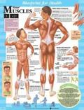 Your Muscles Blueprint Chart